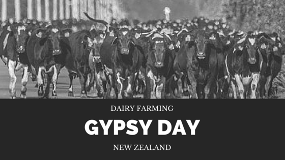 New Zealand Dairy Farming Gypsy Day. Waibury blog.